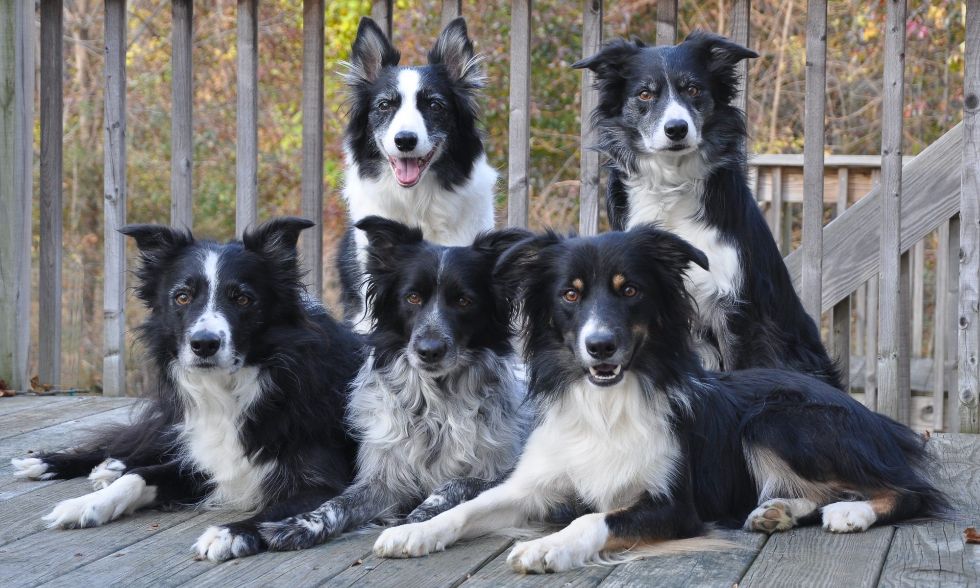 Kelliwic Border Collies